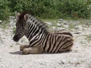bebe-zebre