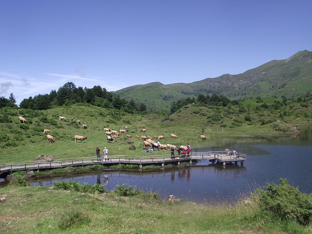 L'étang de Lers et ses vaches pas farouches en Ariège